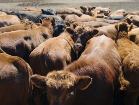 Canadian cattle at feed bunk